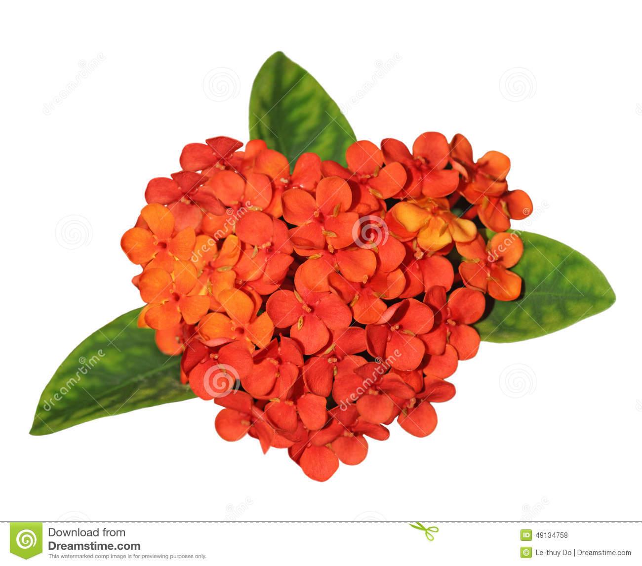 Ixora Coccinea Flower Stock Photo.