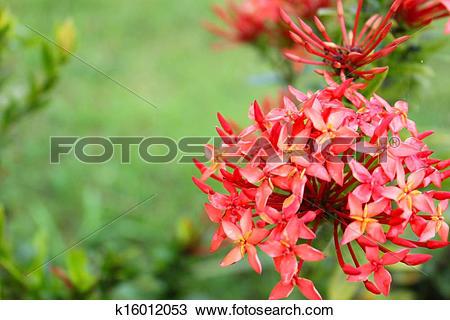 Stock Photo of Ixora coccinea k16012053.