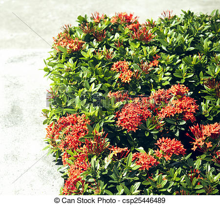 Pictures of Red Ixora coccinea hedge is a species of flowering.