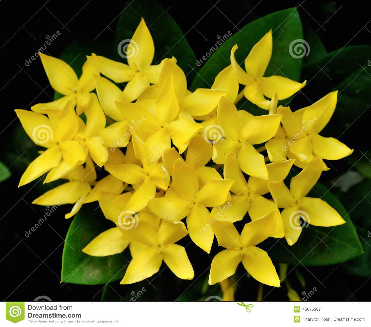 Yellow Ixora Coccinea Flowers Stock Images.