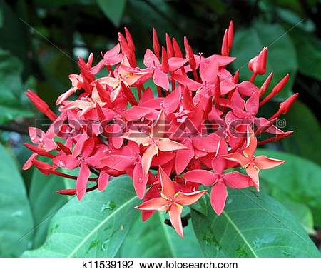 Stock Photo of Jungle geranium (Ixora coccinea). Red color.