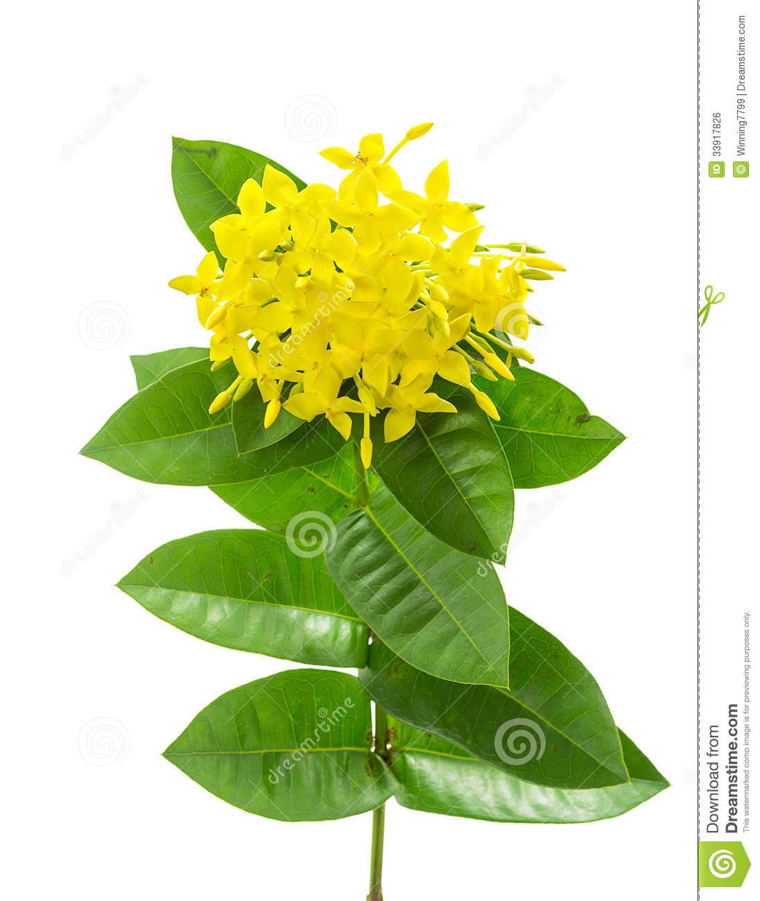 Yellow Ixora ( Coccinea) Flowers Royalty Free Stock Image.