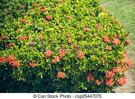 Picture of Ixora coccinea.