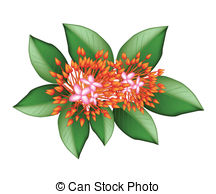 Ixora coccinea Clip Art Vector and Illustration. 14 Ixora coccinea.