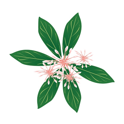 Ixora Coccinea Clip Art, Vector Images & Illustrations.