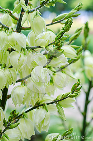 Yucca Plant White Flowers Stock Photos, Images, & Pictures.