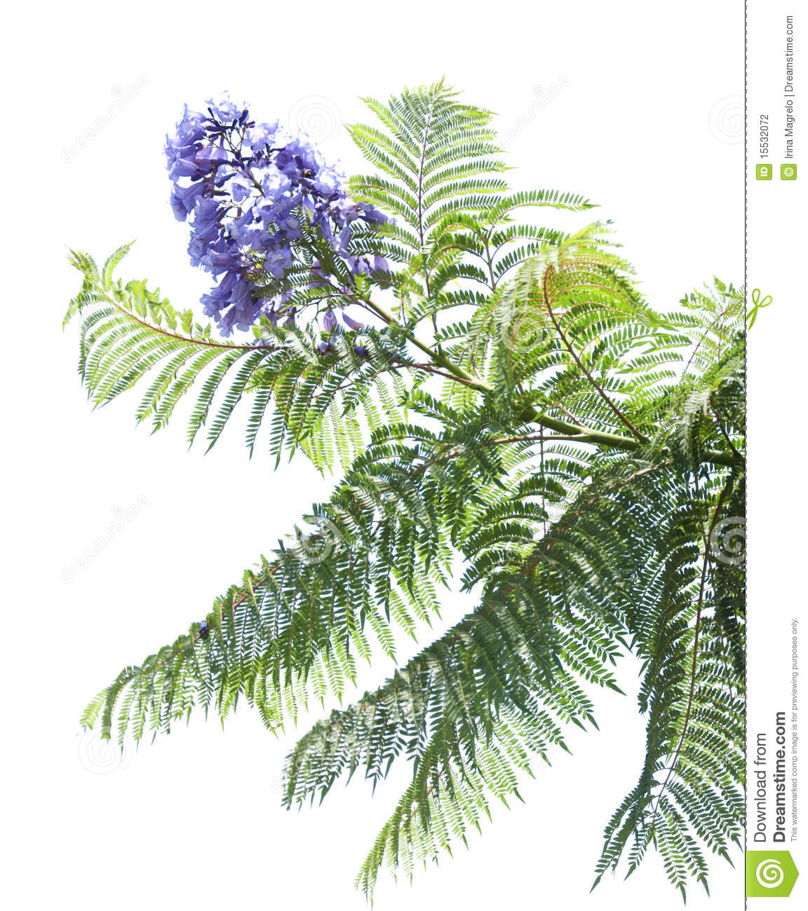 Jacaranda Mimosifolia Stock Photography.