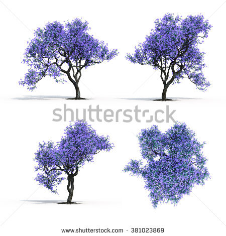 Jacaranda Tree Stock Photos, Royalty.