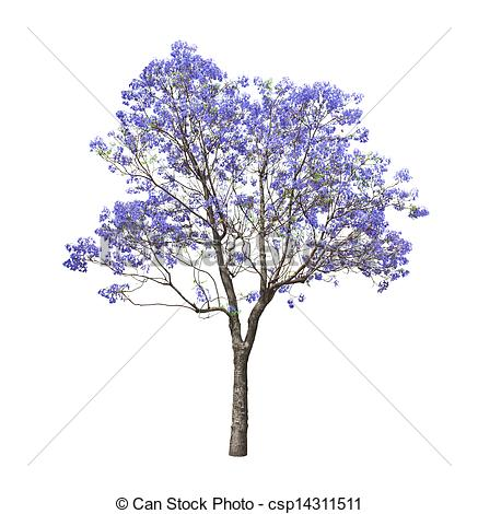 Jacaranda Illustrations and Stock Art. 3 Jacaranda illustration.