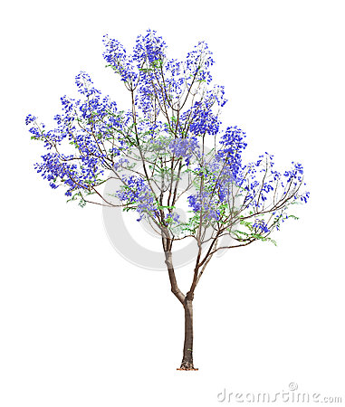 Blooming Jacaranda Tree Royalty Free Stock Images.