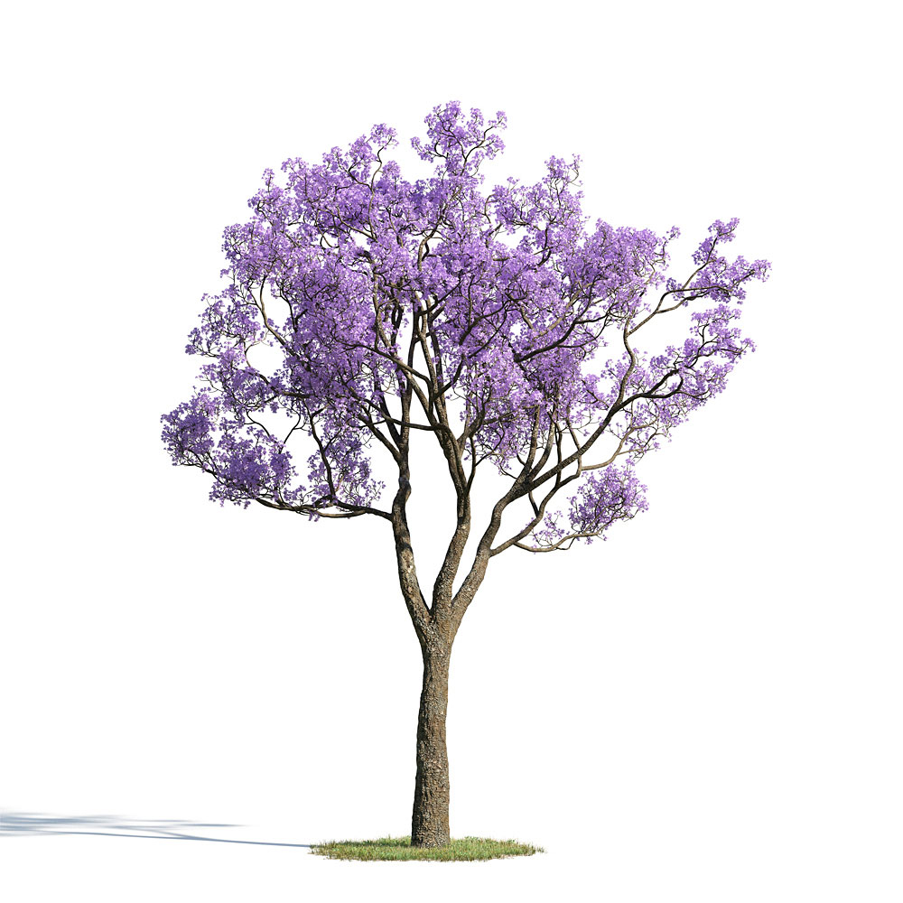 Jacaranda mimosifolia 33 AM154 Archmodels.