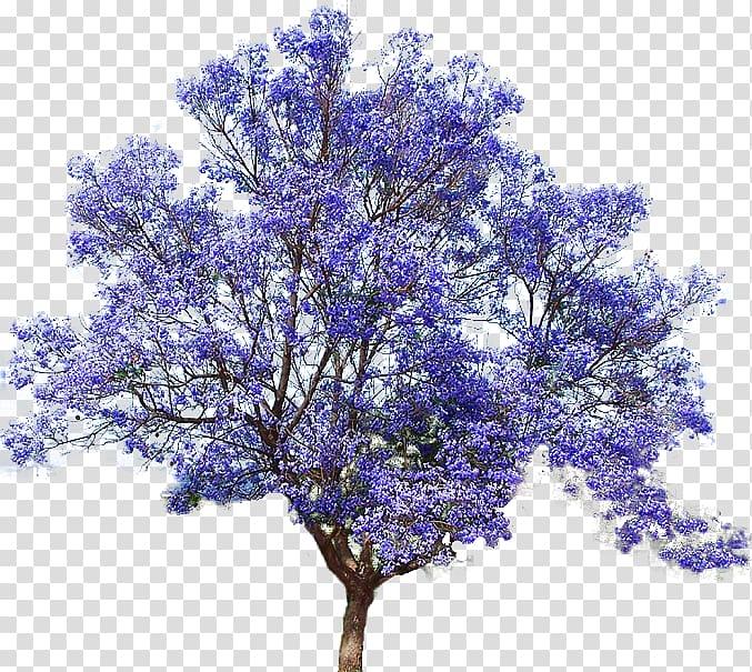 Purple flowering tree illustration, Jacaranda mimosifolia.