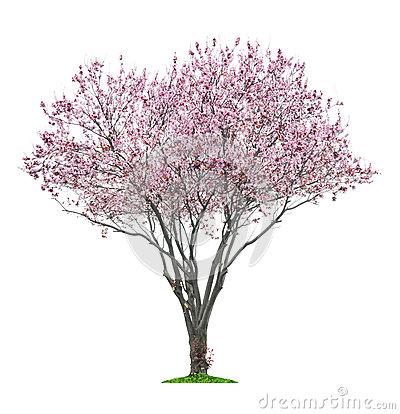 Pink Sacura Tree Stock Photo.