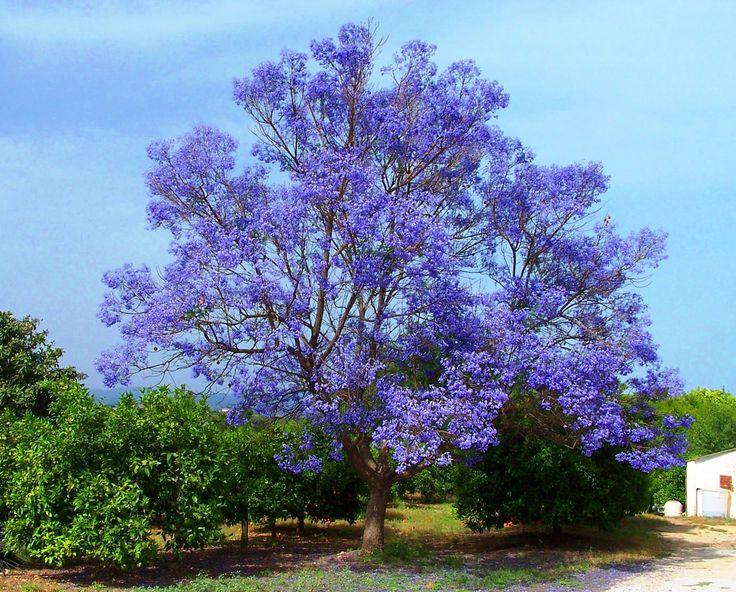 Creative commons jacaranda tree clipart.