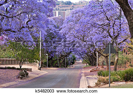 Stock Photo of jacaranda trees k5482003.