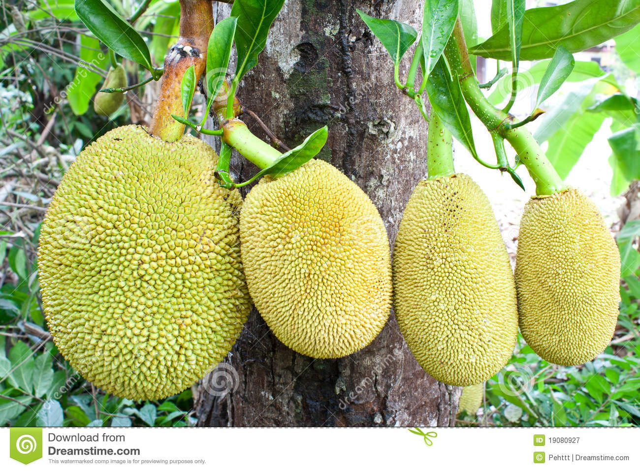 Jackfruit Tree Stock Photos, Images, & Pictures.
