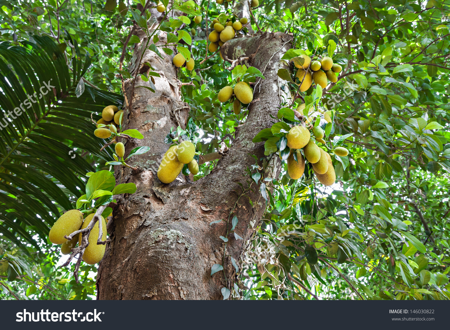 Very Big Jack Fruit Tree Fruits Stock Photo 146030822.
