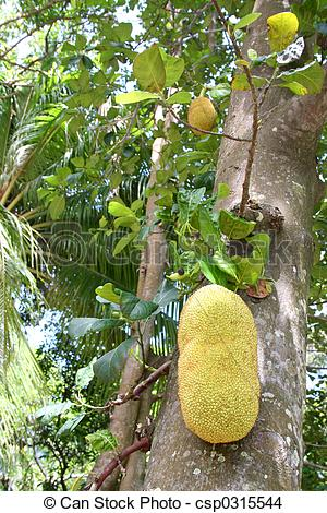 Stock Photo of Jack Fruit.