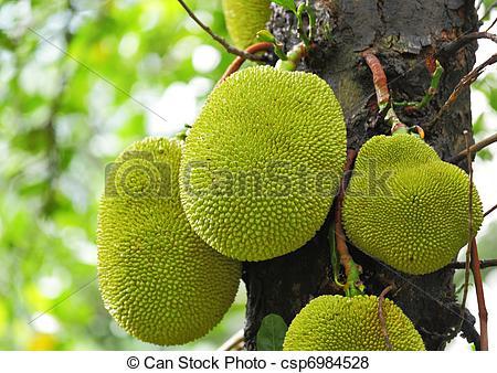 Pictures of Jackfruit on tree csp6984528.