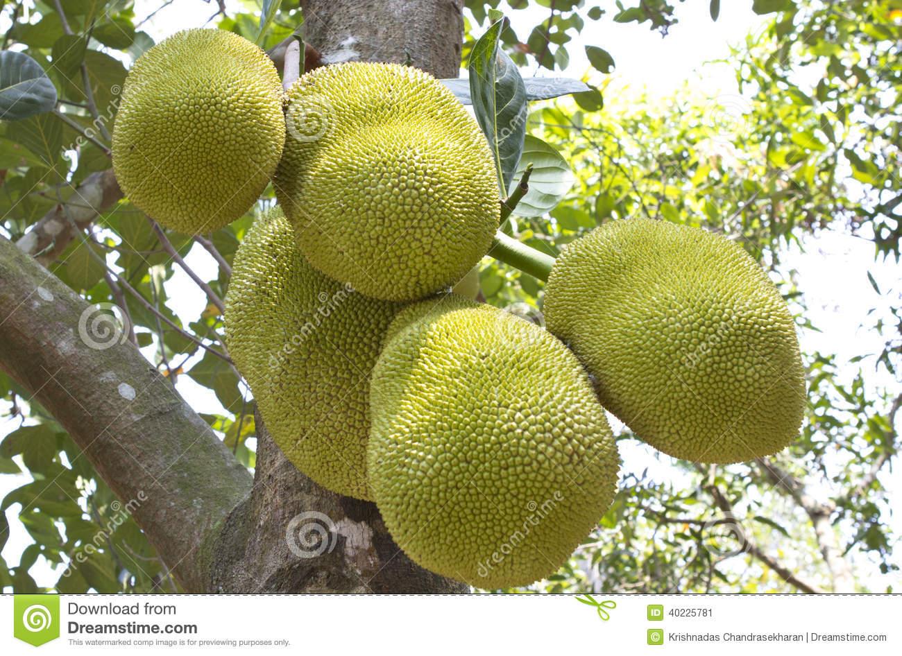 Jack Fruit Tree In South India. Stock Photo.