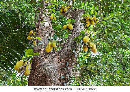 Very Big Jack Fruit Tree Fruits Stock Photo 146030822.