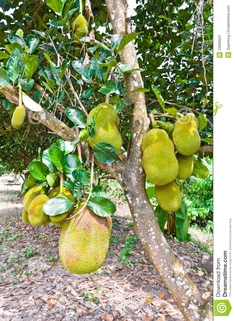Jackfruit Tree Stock Image.