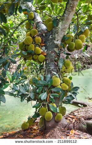 Very Big Jack Fruit Tree Fruits Stock Photo 211899112.