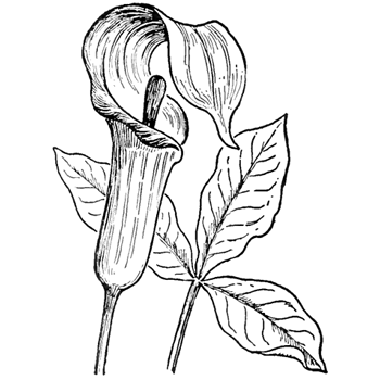 Step finished jack in the pulpit square How to Draw Jack in the.