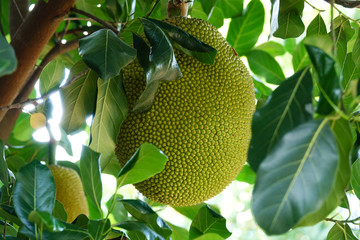 Search photos jackfruit.