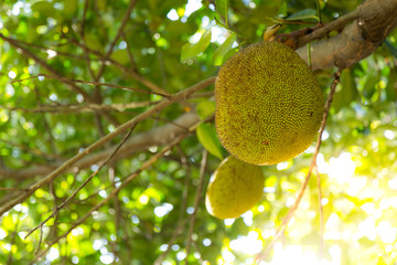 "Search photos ""jack fruit""."