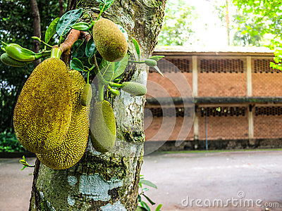 Jack Fruit Tree Stock Photo.