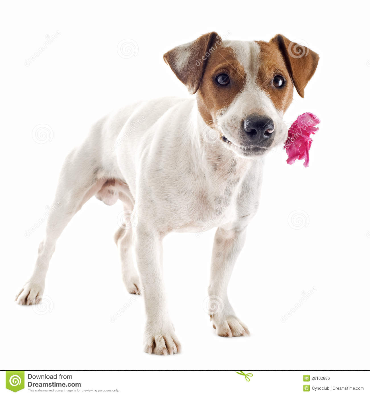Jack Russel Terrier Flower Stock Photos, Images, & Pictures.