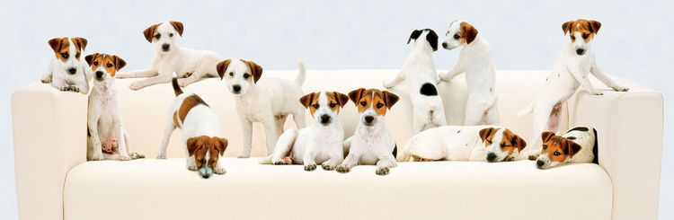 Jack Russell Terrier dog clip art, animated gifs jpegs, free.
