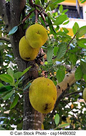 Stock Photography of Jackfruit tree with hanging fruits.