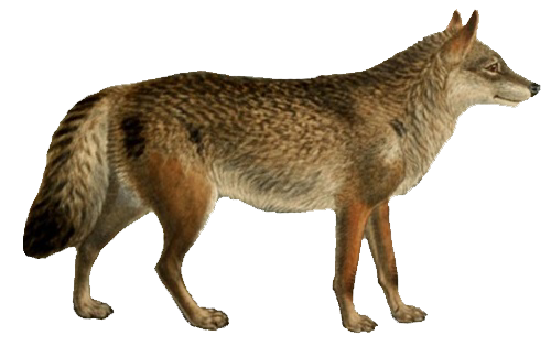 File:Dogs, jackals, wolves, and foxes (Plate I).png.