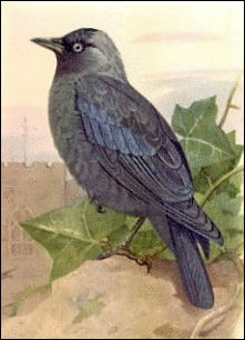 Free Jackdaw Clipart.