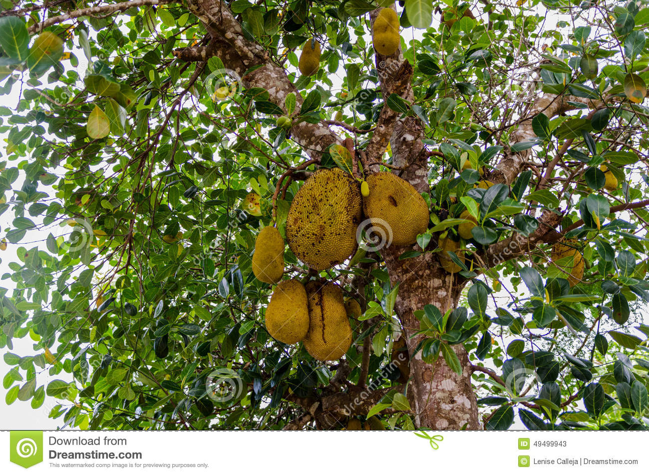 Jack Fruit Tree In Madagascar Stock Photo.