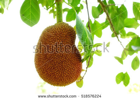 Jackfruit Tree Stock Photos, Royalty.