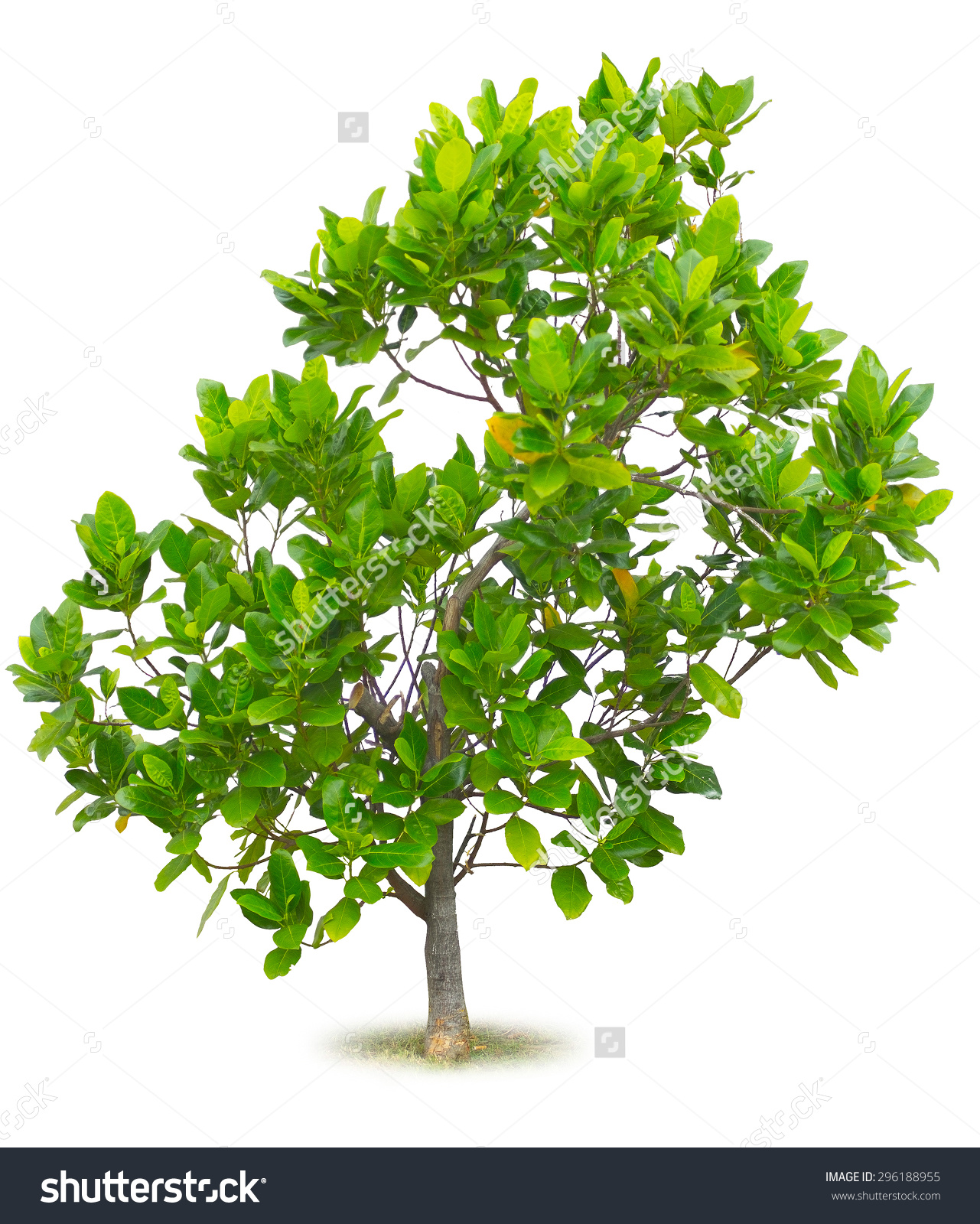 Jackfruit Tree Young Age Isolated On Stock Photo 296188955.
