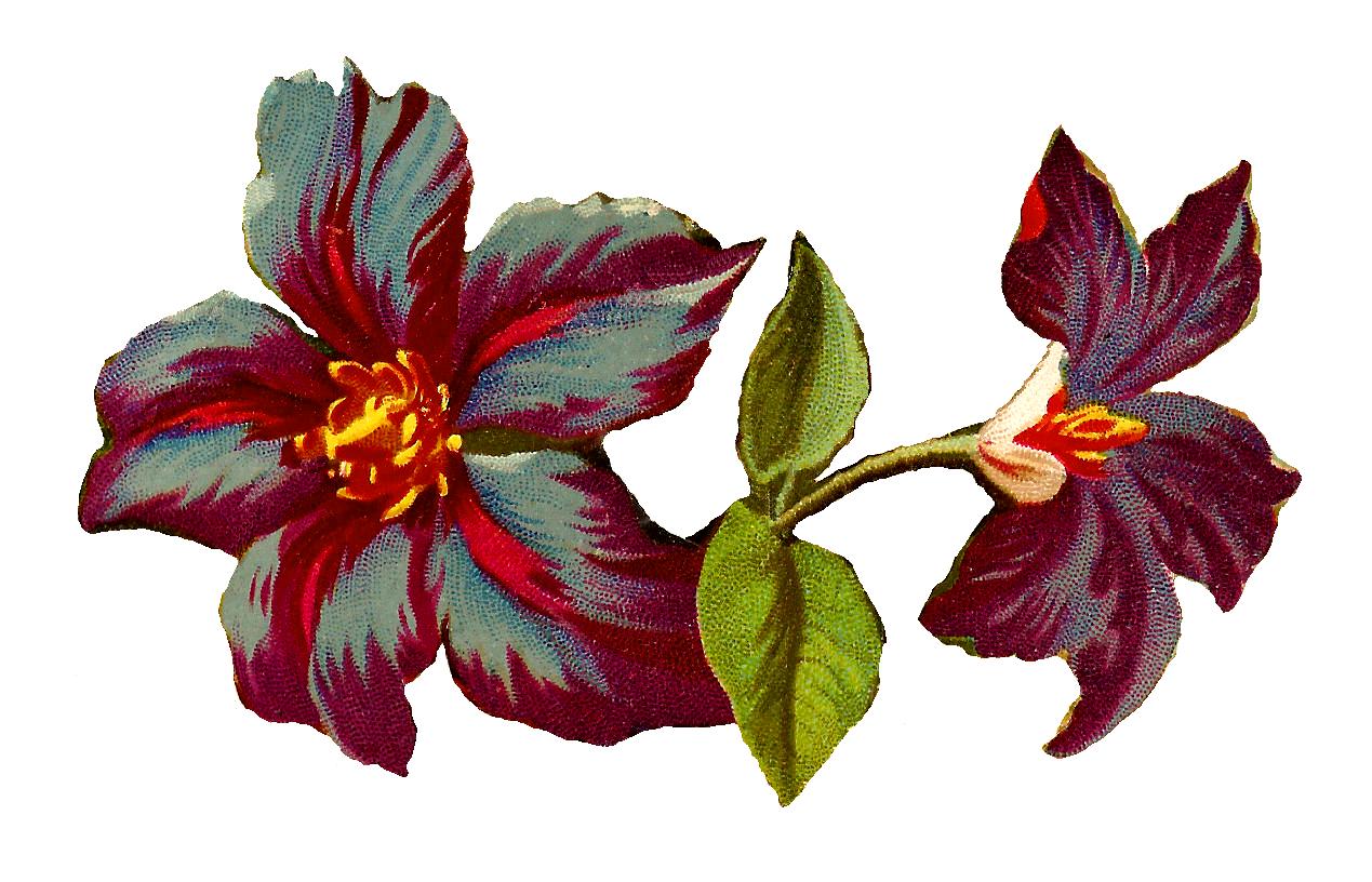 Antique Images: Digital Clematis Flower Image Jackmanii Floral.