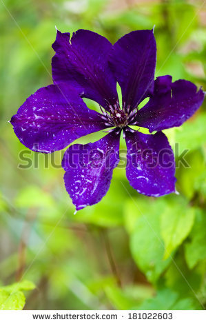Jackmanii clematis Stock Photos, Images, & Pictures.