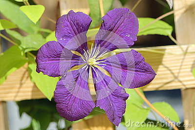 Purple Clematis Jackmanii Flower Stock Photo.