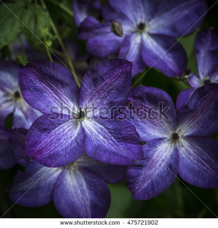 Clematis Jackmanii Stock Photos, Royalty.