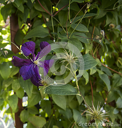 Jackmanii Clematis Flowers Stock Images.