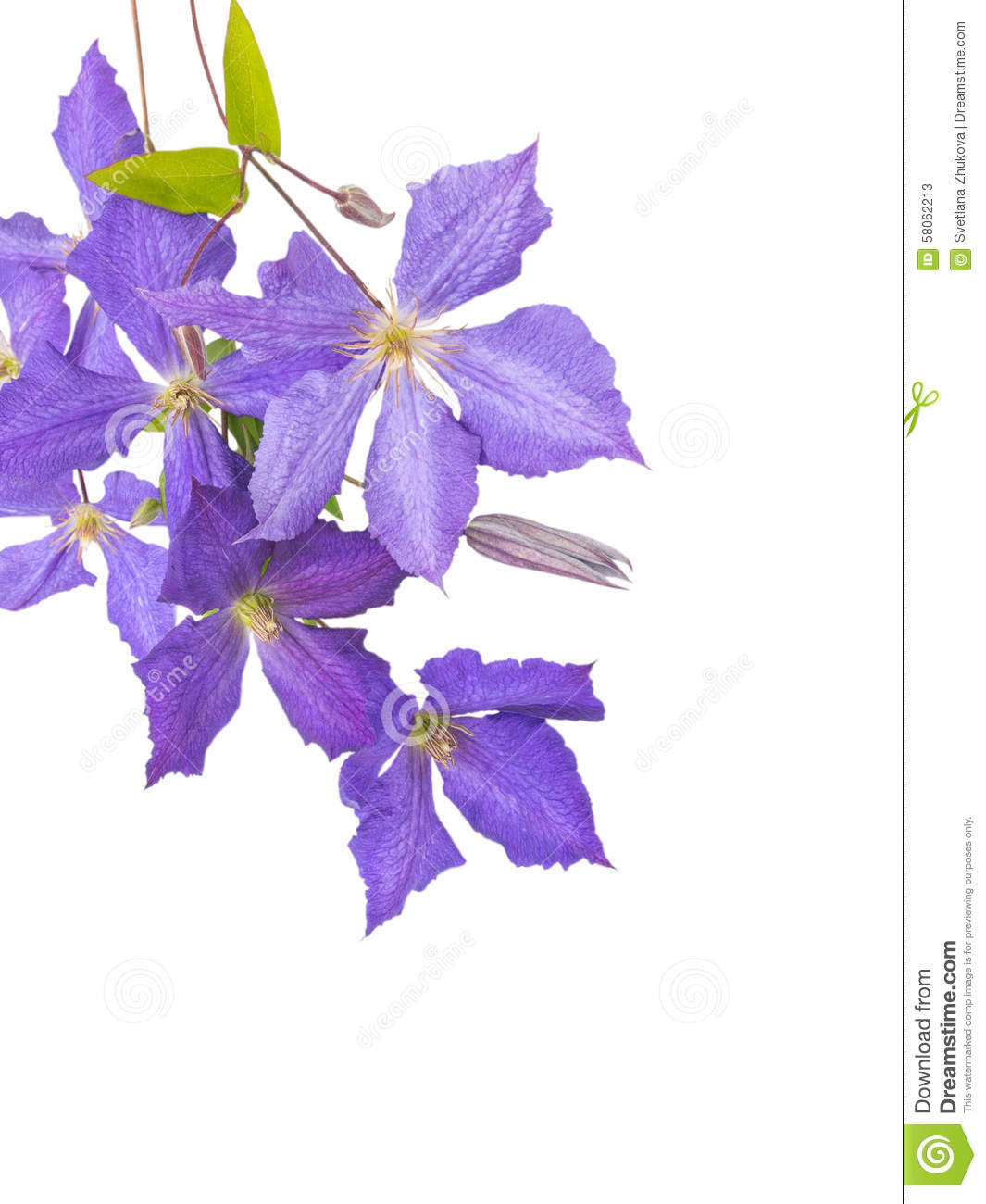 Clematis Jackmanii Flowers, Buds And Leaves Stock Photo.