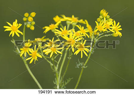 Stock Photography of Common Ragwort, Jacobea, Staggerwort (Senecio.
