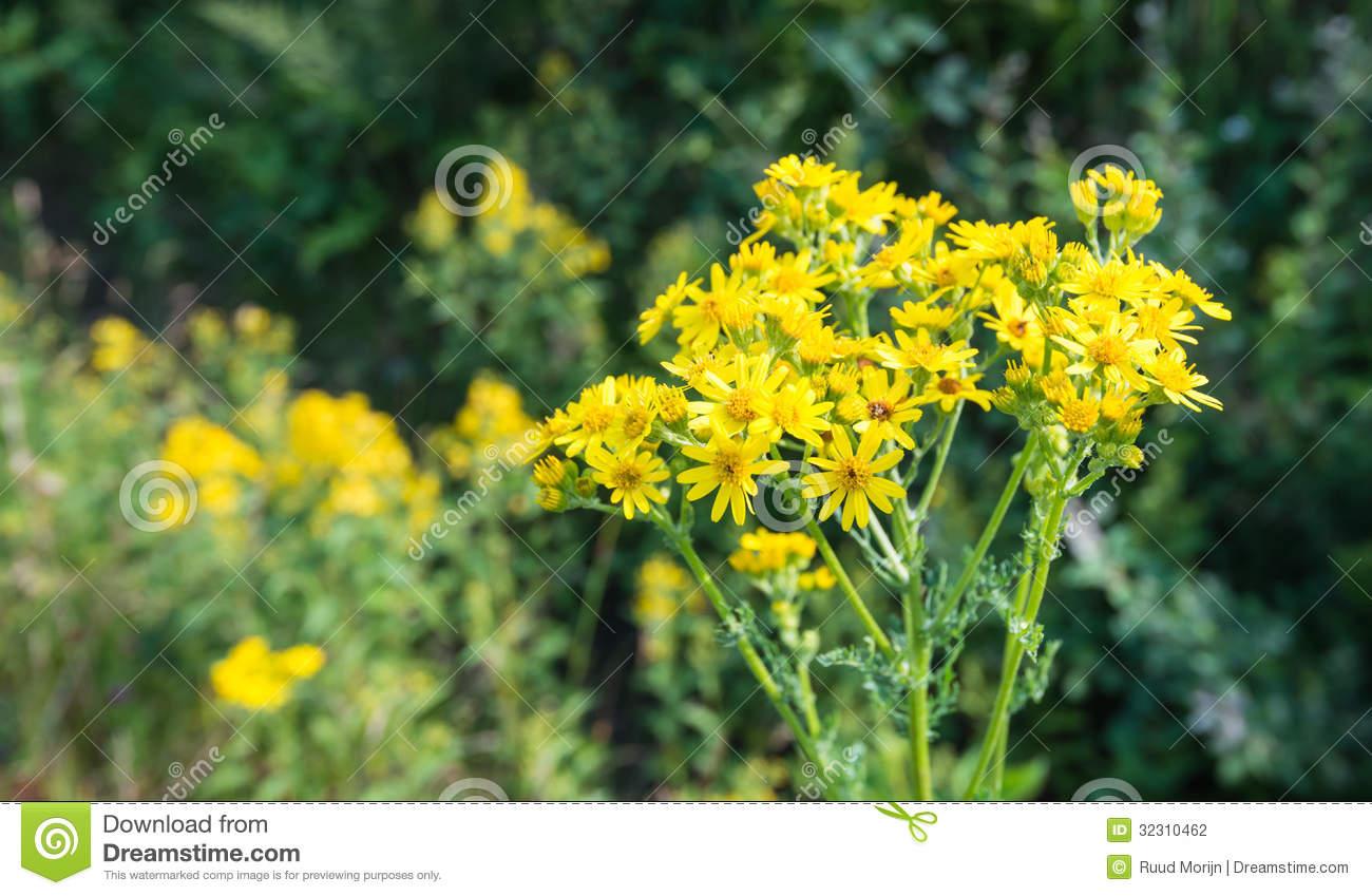 Blooming Ragwort Stock Photography.