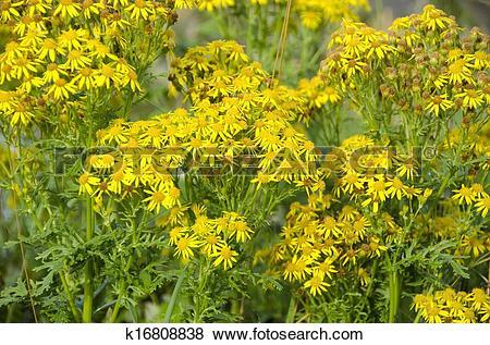 Pictures of Jacobaea vulgaris, ragwort or benweed k16808838.