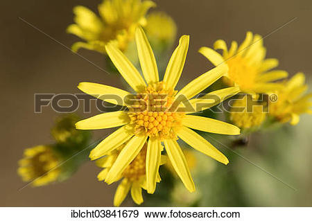 "Stock Photograph of ""Tansy Ragwort (Senecio jacobaea, Jacobaea."