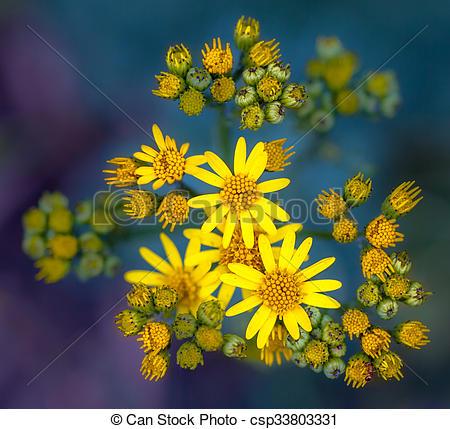 Stock Photos of Jacobaea vulgaris or Ragwort Macro Wallpaper on.